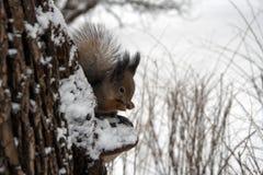 Écureuil en hiver Image stock