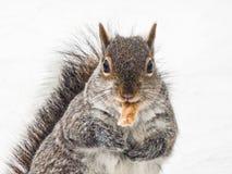 Écureuil en hiver avec le festin images stock