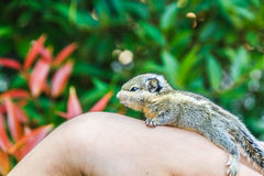 Écureuil en main Images stock