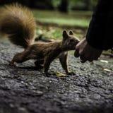 Écureuil en parc Photo libre de droits