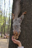 Écureuil en parc, 2014 Photographie stock libre de droits