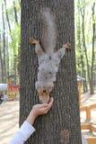 Écureuil en parc, 2014 Photos libres de droits