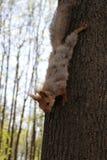 Écureuil en parc, 2014 Images libres de droits