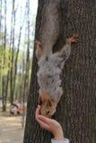 Écureuil en parc, 2014 Image libre de droits