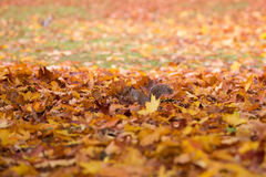 Écureuil en parc d'automne entre les feuilles Images libres de droits