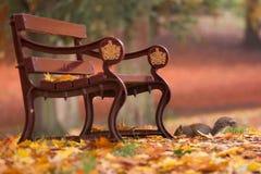 Écureuil en parc d'automne sous un banc entre les feuilles Image stock