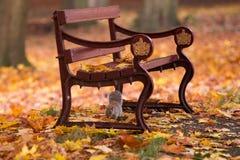 Écureuil en parc d'automne sous un banc entre les feuilles Images stock