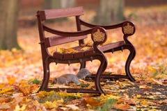 Écureuil en parc d'automne sous un banc entre les feuilles Photographie stock libre de droits