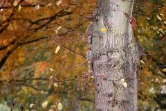 Écureuil en parc d'automne sous un banc entre les feuilles Photographie stock