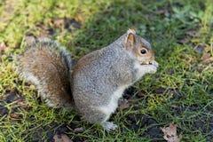 Écureuil en parc de St James, Londres Images libres de droits