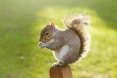 Écureuil en parc de St James, Londres Photo libre de droits