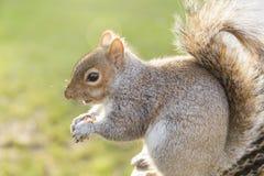 Écureuil en parc de St James, Londres #2 Image libre de droits