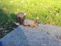 Écureuil en parc de St Petersburg image libre de droits
