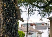 Écureuil en parc de ville Marche par les rues de la Nouvelle-Orléans Images libres de droits