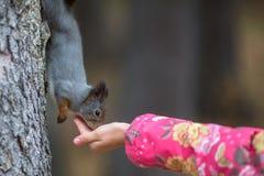 Écureuil en parc mangeant hors de votre main dans un enfant Amour Images stock