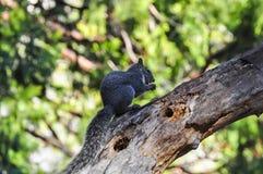 Écureuil en parc national de Yosemite Photographie stock libre de droits
