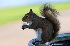 Écureuil en parc pendant l'après-midi un jour chaud d'été image libre de droits