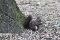 Écureuil en Sofia Park, Bulgarie photographie stock libre de droits
