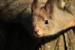 Écureuil en stationnement photos libres de droits