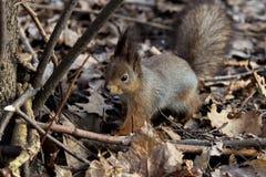 Écureuil en stationnement images stock