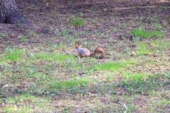 Écureuil en stationnement photos stock
