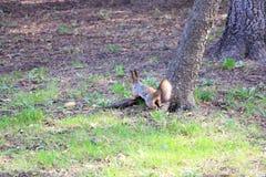 Écureuil en stationnement image libre de droits
