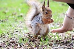 Écureuil en stationnement photo libre de droits