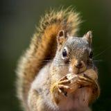 Écureuil et arachide Images stock
