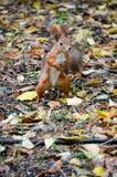Écureuil et automne photographie stock