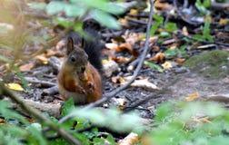 Écureuil et gland Photos libres de droits