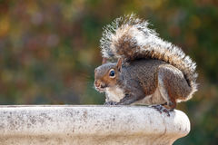 Écureuil et un bain d'oiseau image libre de droits