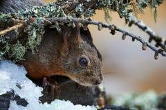 Écureuil européen curieux Images libres de droits