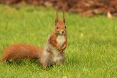 Écureuil européen se tenant sur l'herbe (Sciurus) Photo stock
