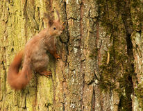 Écureuil européen sur un tronc d'arbre (Sciurus) Images libres de droits