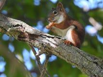 Écureuil faisant une pause de casse-croûte Photos stock