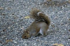 Écureuil forageant pour la nourriture en gravier Photographie stock libre de droits