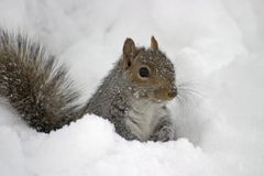 Écureuil froid image stock