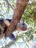 Écureuil géant grisonnant sauvage en plan rapproché de Sri Lanka image libre de droits