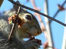 Écureuil gardant un oeil sur vous ! Photographie stock libre de droits