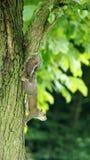 Écureuil grimpant vers le bas à un arbre Images libres de droits