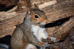 Écureuil gris étroit vers le haut de regarder image stock