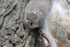 Écureuil gris Image libre de droits
