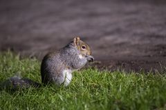 Écureuil gris Photos stock