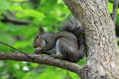 Écureuil gris Images stock