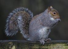 Écureuil gris Photographie stock