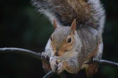 Écureuil gris Photo libre de droits
