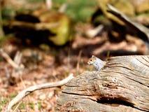 Écureuil gris Image stock