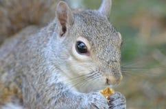 Écureuil gris photos libres de droits