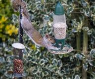 Écureuil gris Photographie stock libre de droits