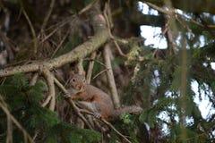 Écureuil gris Photo stock